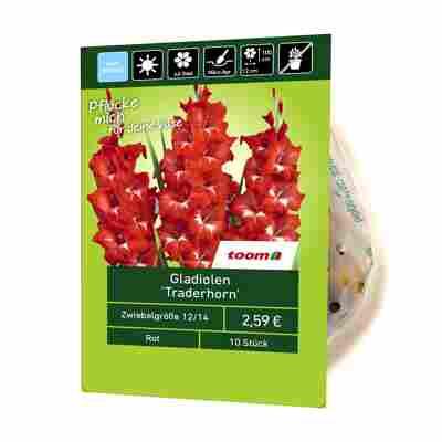 Gladiolen 'Traderhorn' 10 Stück