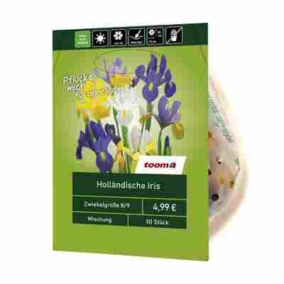 Holländische Iris 50 Stück