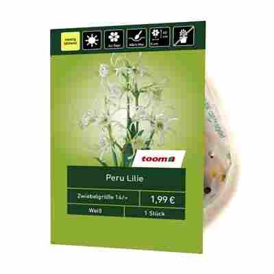Peru-Lilie weiß 1 Stück
