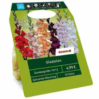 Gladiolen gefranst Mischung 20 Zwiebeln