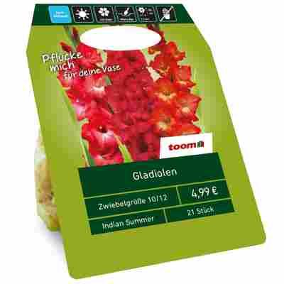 Gladiolen 'Indian Summer' rot 21 Zwiebeln