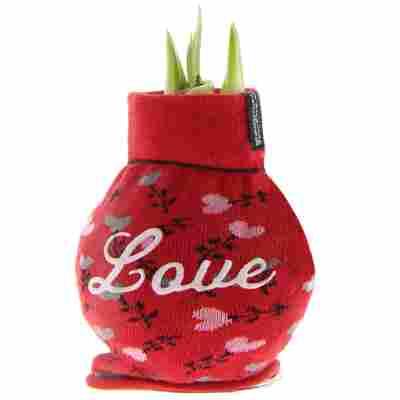 Amaryllis gewachst im Söckchen 'Love' rot