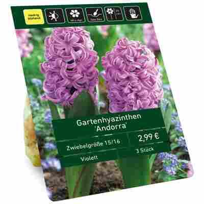 Hyazinthen 'Andorra' violett 3 Zwiebeln