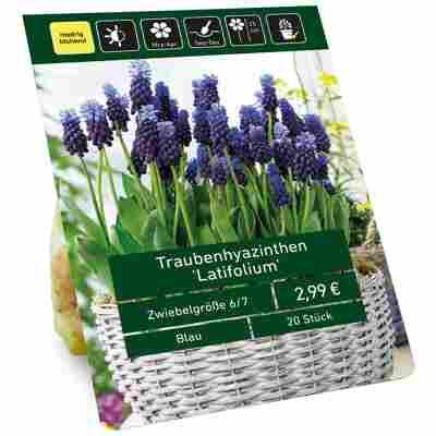 Traubenhyazinthen 'Latifolium' blau 20 Zwiebeln