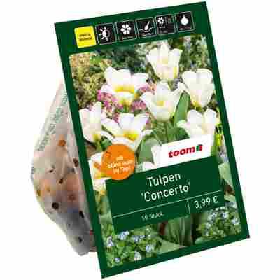 Tulpe 'Concerto' creme-gelb 10 Zwiebeln