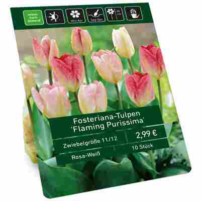 Tulpe 'Flaming Purissima' rosa 10 Zwiebeln