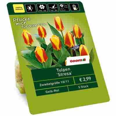 Tulpe 'Stresa' gelb-rot 5 Zwiebeln