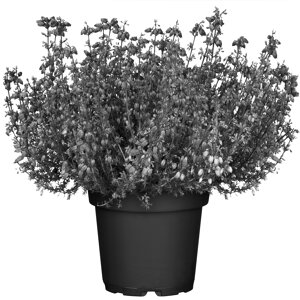 Beet Balkonpflanzen ǀ Toom Baumarkt