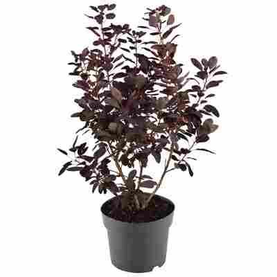 Perückenstrauch 'Royal Purple' 19 cm Topf
