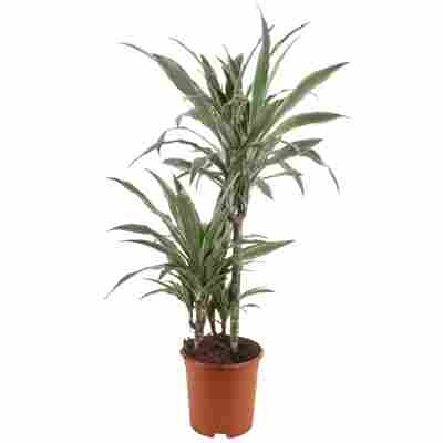 Drachenbaum 3er-Stamm verschiedene Sorten 21 cm Topf