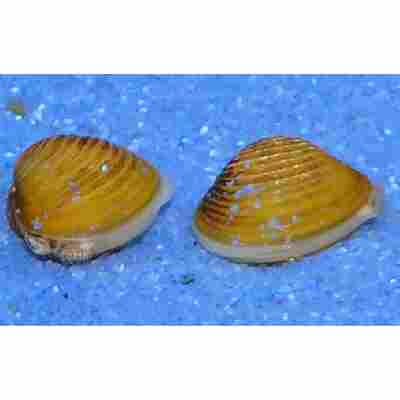 Goldene Körbchenmuschel 'Corbicula javanicus'
