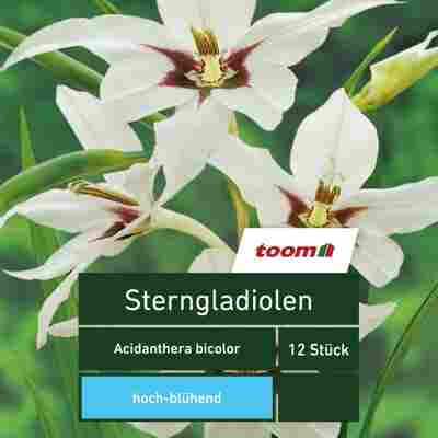 Blumenzwiebeln Sterngladiolen bicolor 12 Stück