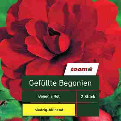 Gefüllte Begonien 'Begonia', 2 Stück, rot