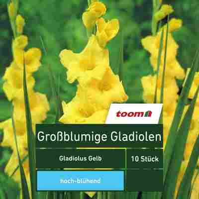 Großblumige Gladiolen 'Gladiolus', 10 Stück, gelb