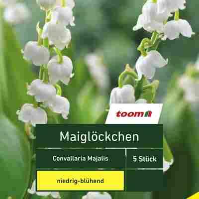 Maiglöckchen 'Convallaria Majalis', 5 Stück, weiß