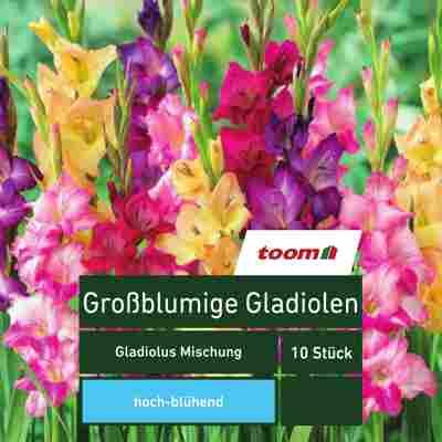 Großblumige Gladiolen 'Gladiolus Mischung', 10 Stück, mehrfarbig
