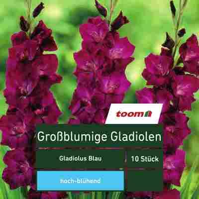 Großblumige Gladiolen 'Gladiolus', 10 Stück, blau