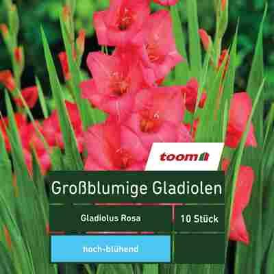 Großblumige Gladiolen 'Gladiolus', 10 Stück, rosa