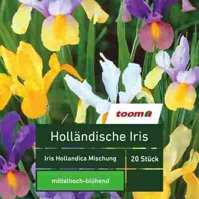 Holländische Iris 'Iris Hollandica', 20 Stück, mehrfarbig