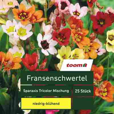 Fransenschwertel 'Sparaxis Tricolor', 25 Stück, mehrfarbig