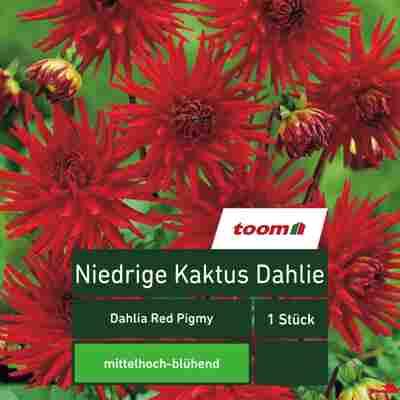 Niedrige Kaktus-Dahlie 'Dahlia Red Pigmy', 1 Stück, rot