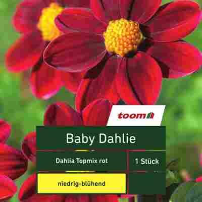Baby-Dahlie 'Dahlia Topmix', 1 Stück, rot