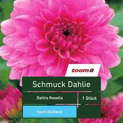Schmuck-Dahlie 'Dahlia Rosella', 1 Stück, rosa