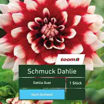 Schmuck-Dahlie 'Dahlia Duet', 1 Stück, rot-weiß