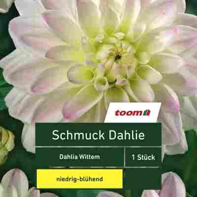Schmuck-Dahlie 'Dahlia Wittem', 1 Stück, gelb-rosa