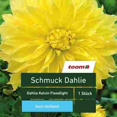 Schmuck-Dahlie 'Dahlia Kelvin Floodlight', 1 Stück, gelb