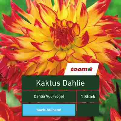 Kaktus-Dahlie 'Dahlia Vuurvogel', 1 Stück, gelb-rot