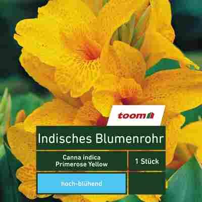 Blumenzwiebel Indisches Blumenrohr 'Primrose Yellow' 1 Stück
