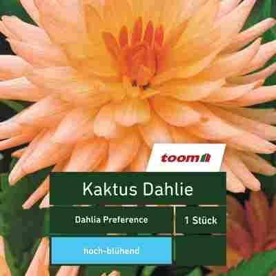 Kaktus-Dahlie 'Dahlia Preference', 1 Stück, orange