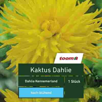 Kaktus-Dahlie 'Dahlia Kennemerland', 1 Stück, gelb
