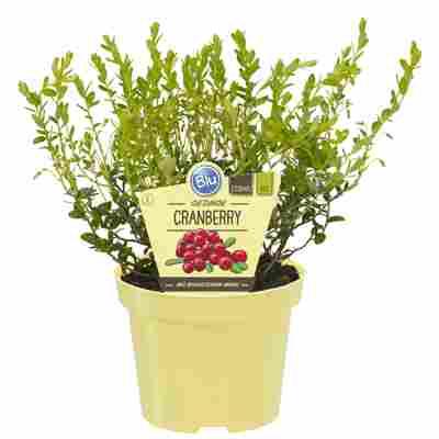 Bio-Cranberry 12 cm Topf