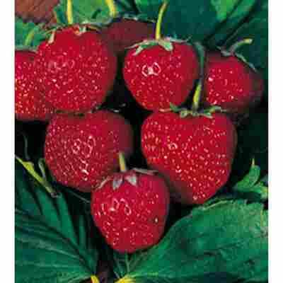 Erdbeere Datschenstolz 'Mieze Schindler', 11 cm Topf, 3er-Set