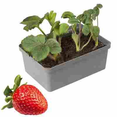 Naturtalent by toom® Bio-Erdbeere verschiedene Sorten 6er-Tray