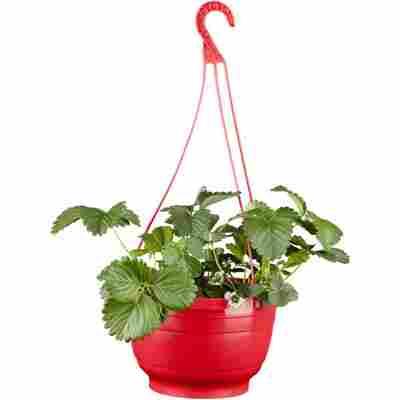 Naturtalent by toom® Bio-Erdbeere verschiedene Sorten im Ampeltopf Ø 25 cm