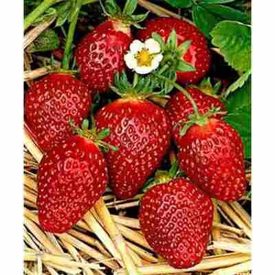 Erdbeere Fridulin®, 11 cm Topf, 2er-Set