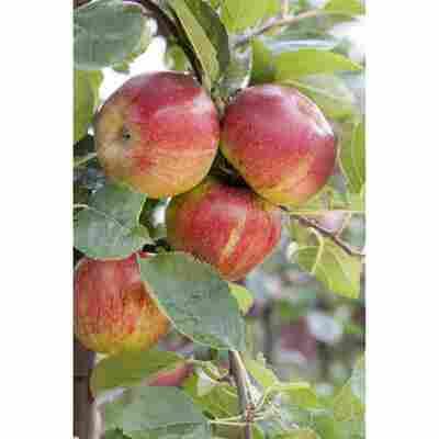 Naturtalent by toom® Bio-Apfelbusch 'Boskoop' 25 cm Topf
