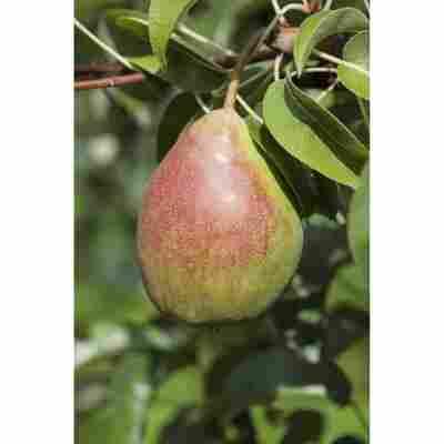 Naturtalent by toom® Bio-Birnenbusch 'Clapps Liebling' 26 cm Topf