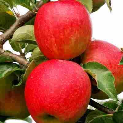 Naturtalent by toom® Bio Apfel 'Jonagold', Busch®