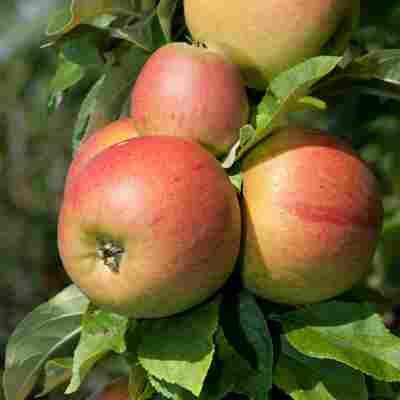 Naturtalent by toom® Bio Apfel 'Goldparmäne', Busch®