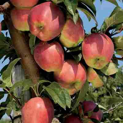 Naturtalent by toom® Bio Apfel 'Gloster', Busch®