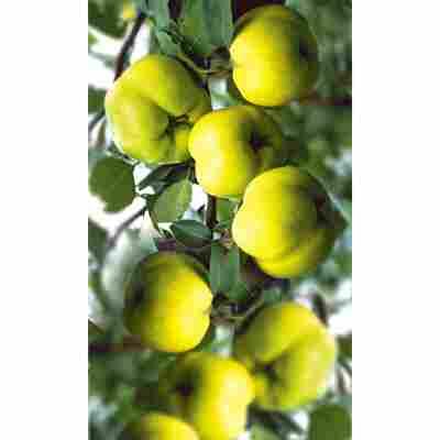 Naturtaltent by toom® Bio Apfelquitte, Busch