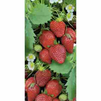 Naturtalent by toom® Bio-Erdbeere 'Ostara', 11 cm Topf, 2er-Set