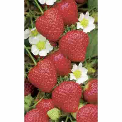 Naturtalent by toom® Bio Erdbeere 'Polka', 11 cm Topf