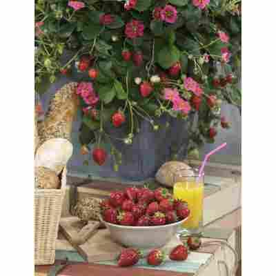 Erdbeere 'Toscana F1', 10,5 cm Topf