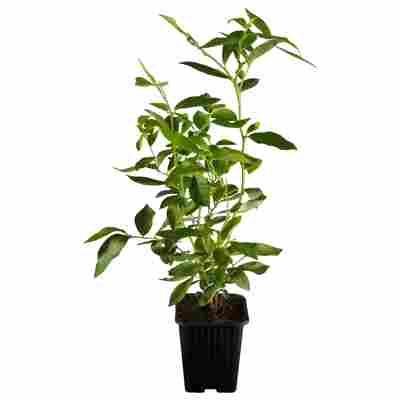 Naturtalent by toom® Bio-Heidelbeere 'Duke' 19 cm Topf