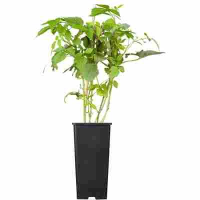 Naturtalent by toom® Bio-Himbeere 'Willamette' 14 cm Topf